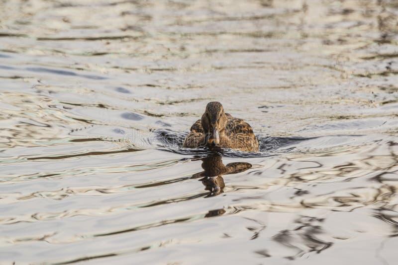 Swimming Mallard. A swimming mallard in a lake on New Years Eve stock images