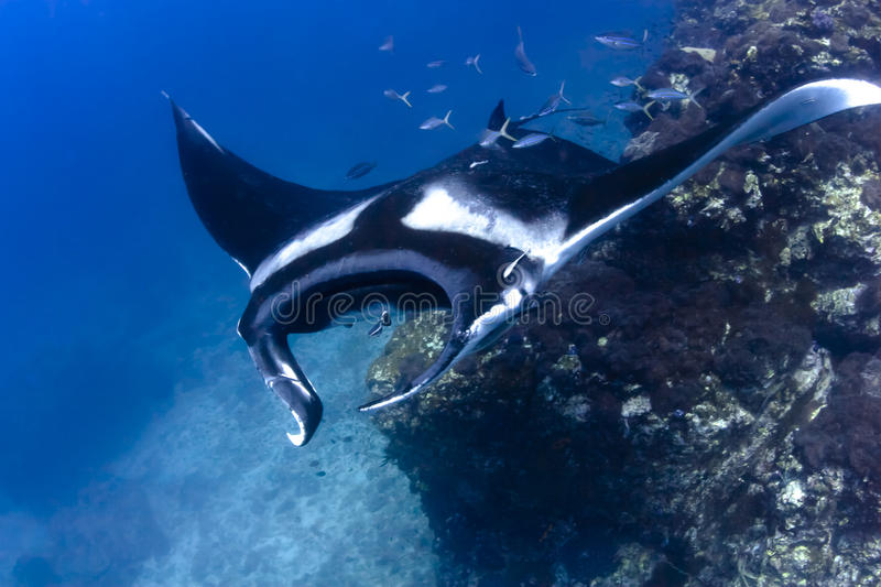 Swimming Manta Ray underwater in the ocean royalty free stock photography