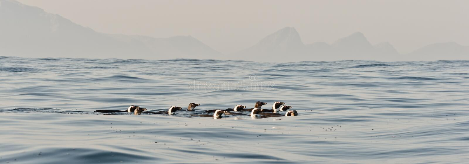 Swimming penguins. The African penguin (Spheniscus demersus), also known as the penguin and black-footed penguin is a species of penguin, confined to southern royalty free stock image