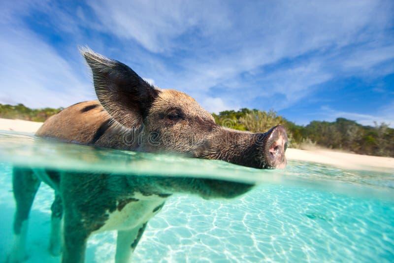 Swimming pig on Exuma island. Swimming pig in a water at beach on Exuma island Bahamas stock images