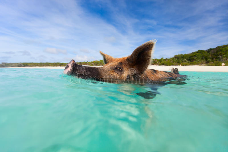 Swimming pig on Exuma island. Swimming pig in a water at beach on Exuma island Bahamas royalty free stock photo