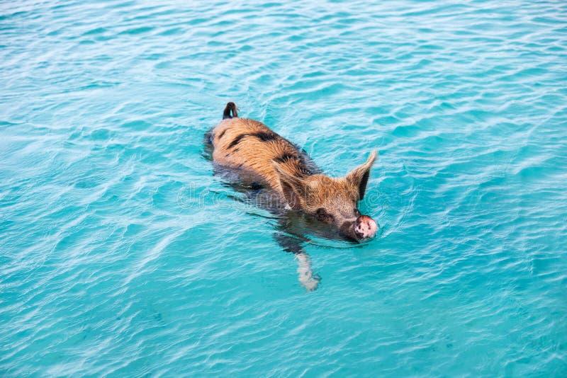 Swimming pig of Exuma. Pig swimming in a water near island of Exuma Bahamas royalty free stock image
