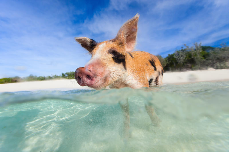 Swimming piglet on Exuma island. Swimming piglet in a water at beach on Exuma island Bahamas royalty free stock photography