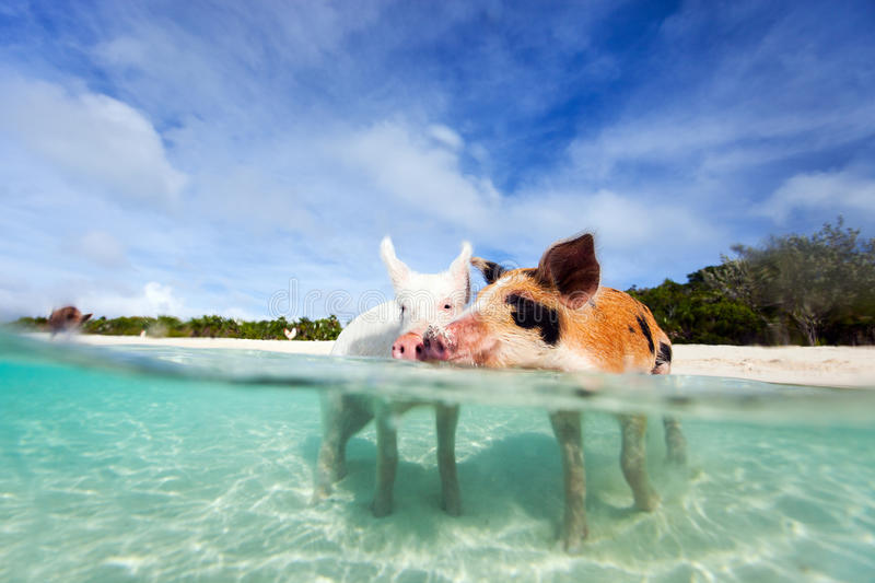 Swimming pigs of Exuma. Swimming pigs of the Bahamas in the Out Islands of the Exuma royalty free stock photos