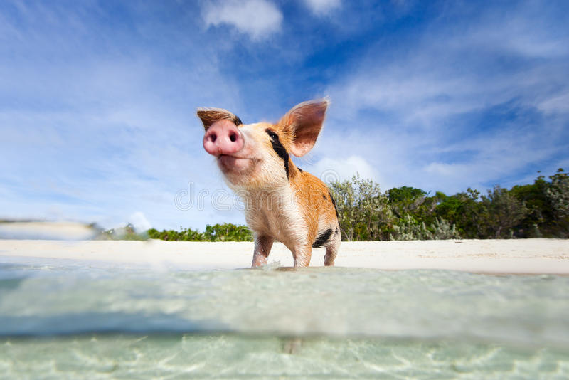 Swimming pigs of Exuma. Little piglet in a water at beach on Exuma Bahamas royalty free stock photo