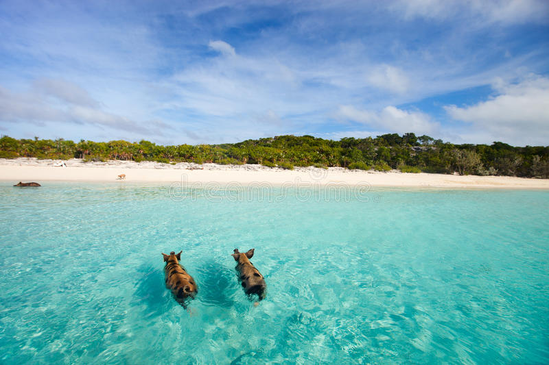 Swimming pigs of Exuma. Swimming pigs of the Bahamas in the Out Islands of the Exuma stock photo