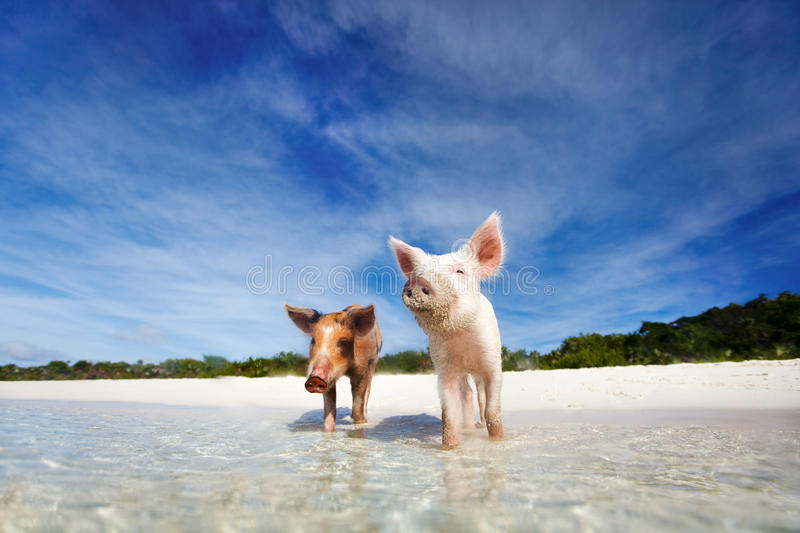 Swimming pigs of Exuma. Swimming pigs of the Bahamas in the Out Islands of the Exuma royalty free stock images