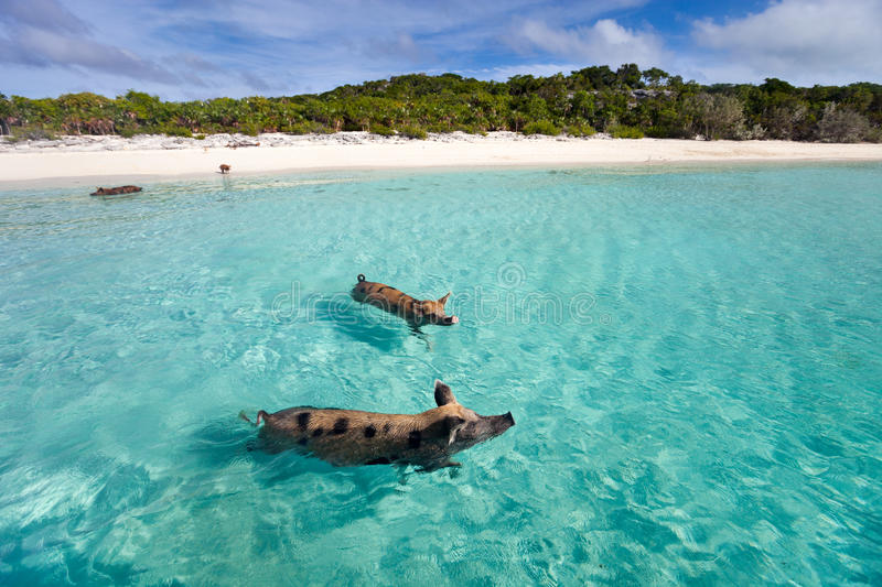 Swimming pigs of Exuma. Swimming pigs of the Bahamas in the Out Islands of the Exuma stock image