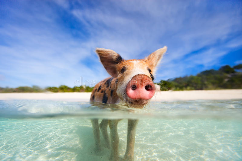 Swimming pigs of Exuma. Little piglet in a water at beach on Exuma Bahamas royalty free stock photography