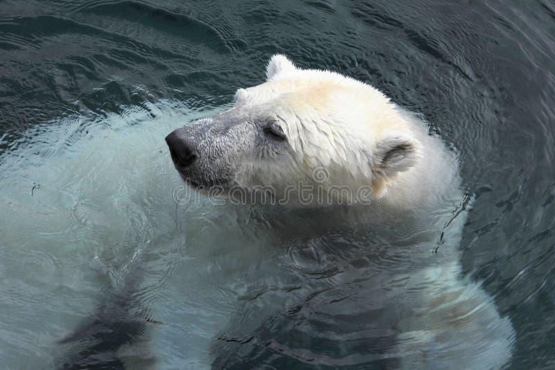 Swimming polar bear. Polar bear Ursus maritimus is a hypercarnivorous bear whose native range lies largely within the Arctic Circle, encompassing the Arctic stock photo