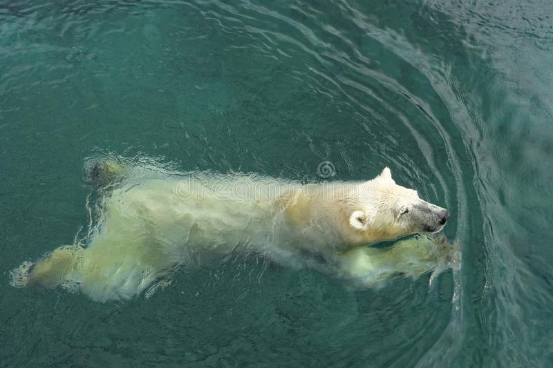 Swimming polar bear. Polar bear Ursus maritimus is a hypercarnivorous bear whose native range lies largely within the Arctic Circle, encompassing the Arctic royalty free stock images