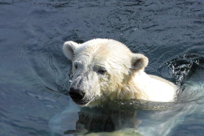 Swimming polar bear. Polar bear Ursus maritimus is a hypercarnivorous bear whose native range lies largely within the Arctic Circle, encompassing the Arctic royalty free stock photos