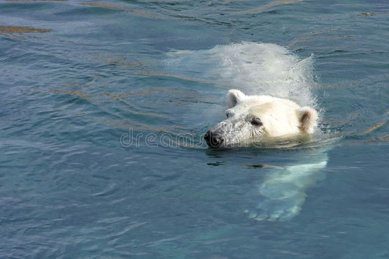 Swimming polar bear. Polar bear Ursus maritimus is a hypercarnivorous bear whose native range lies largely within the Arctic Circle, encompassing the Arctic royalty free stock image