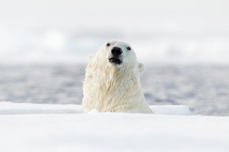 Swimming polar bears, head above water surface. Polar bear with drift ice with snow. Dangerous animal from Svalbard, Norway. Actio stock images