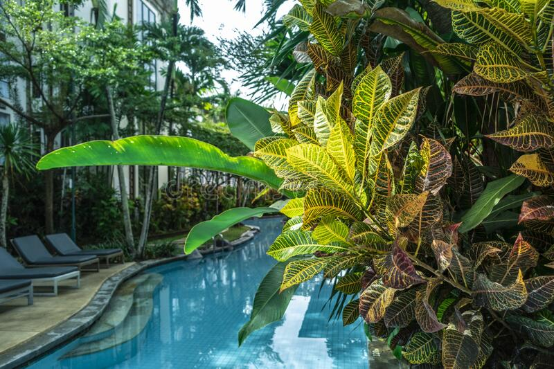 Denpasar, Indonesia - January 8, 2020: Swimming pool in the garden with with colorful croton trees, bright Codiaeum Variegatum lea. Denpasar, Indonesia - January royalty free stock image