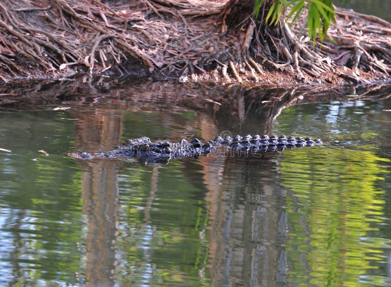 Swimming saltwater crocodile,queensland,australia royalty free stock photo