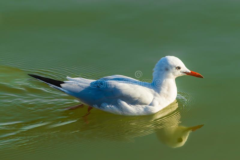 Swimming seagull. Bird. royalty free stock images