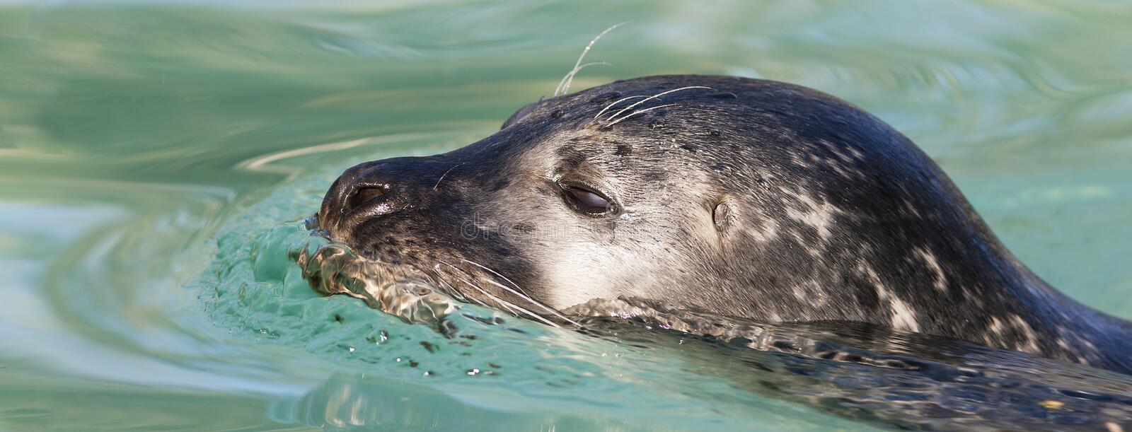 Swimming seal stock photography