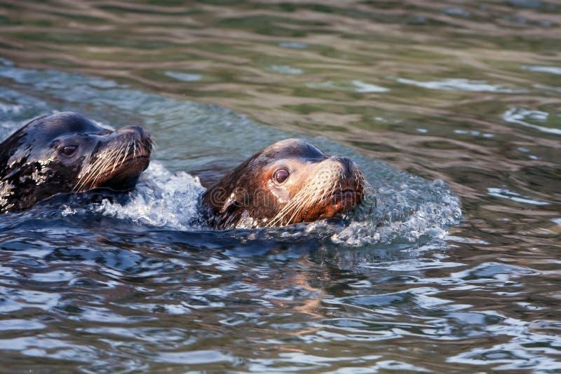 Download Swimming Sealion stock photo. Image of animals, animal - 7637446