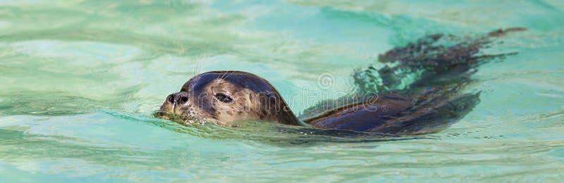 Swimming seals royalty free stock photos