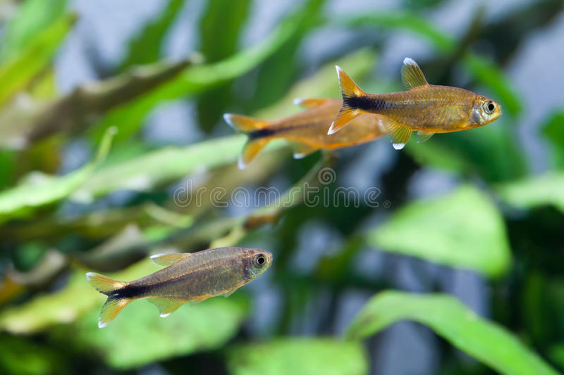 Swimming Silver Tipped Tetra fishes. gold, orange colorful aquarium fish. royalty free stock photography
