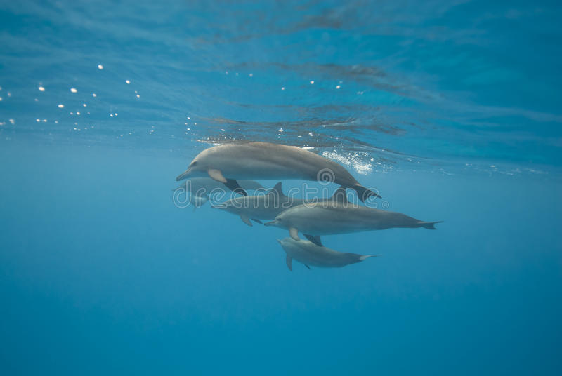 Swimming Spinner dolphins in the wild.