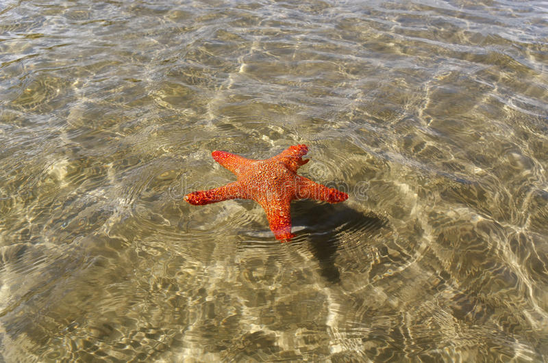 Swimming starfish. royalty free stock images