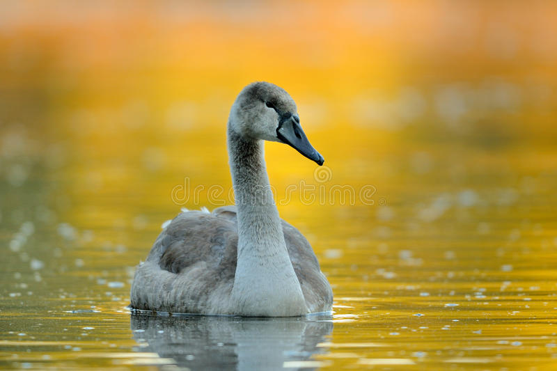 Swimming Swan. This young swan is swimming on a lake. The yellow colours in the background are from the leaves of the trees stock photos