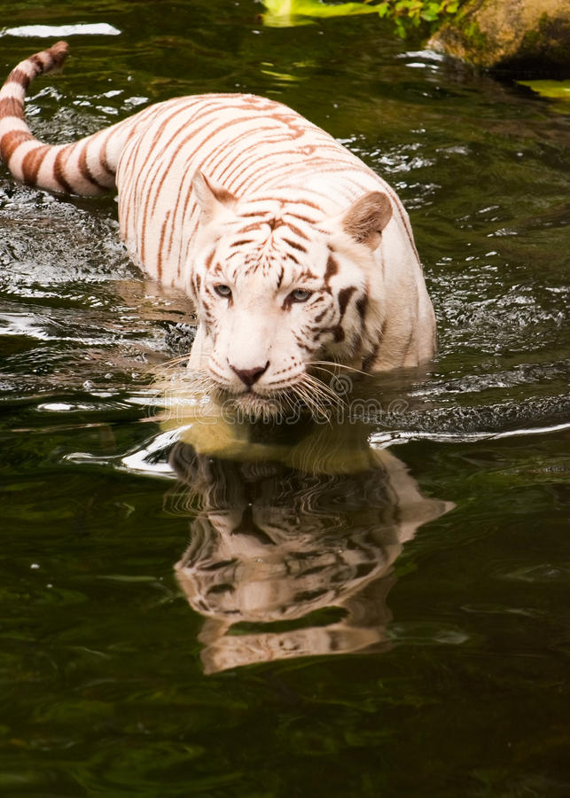 Download Swimming  Tiger stock image. Image of tail, stripes, carnivore - 10892805