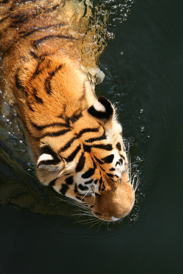 Swimming Tiger. Relaxation in summertime - Swimming Tiger stock image