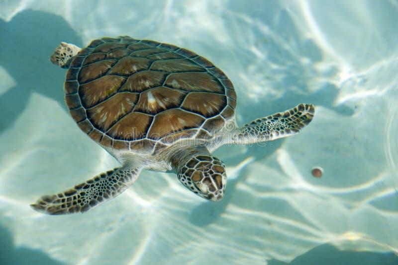 Swimming tortoise stock photos