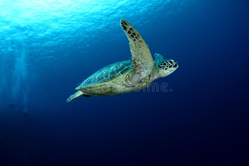 Swimming Turtle stock photography