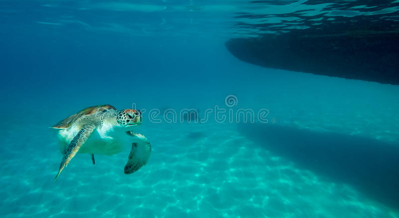 Swimming with turtles royalty free stock images