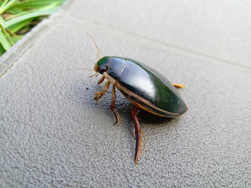 Swimming water bug. Is sitting on a karimat. Side view royalty free stock image