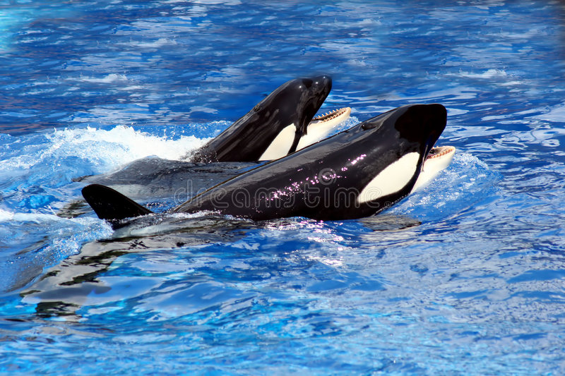 Download Swimming whales stock photo. Image of animal, outdoors - 169348