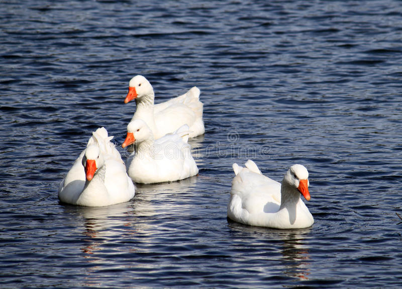 Swimming White Geese stock image