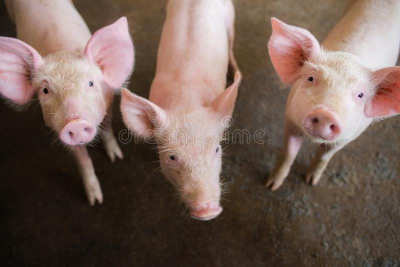Swine at the farm. Meat industry. Pig farming to meet the growing demand for meat in thailand and international. royalty free stock images