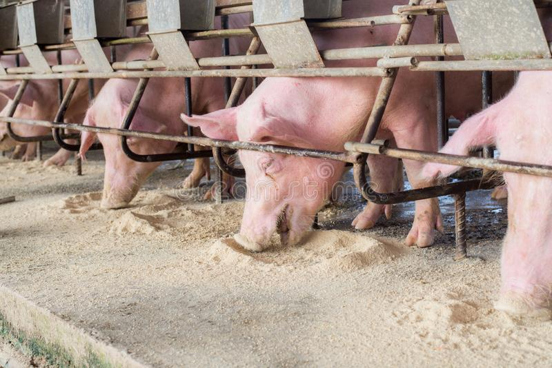 Swine at the farm. Pig industry. Pig farming to meet the growing demand for meat in thailand and international. Swine at the farm. Pig industry. Pig farming to stock images