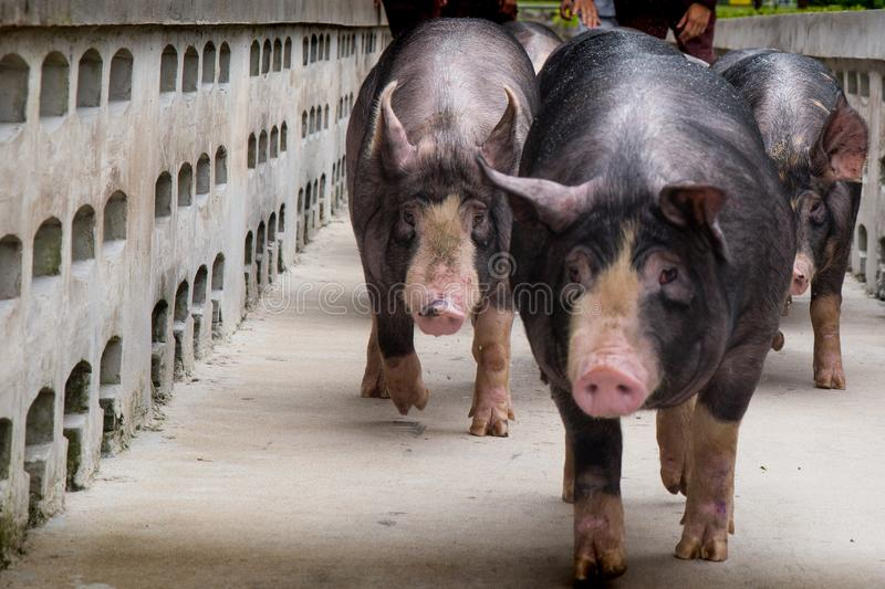 Swine farming business in relax time stock image