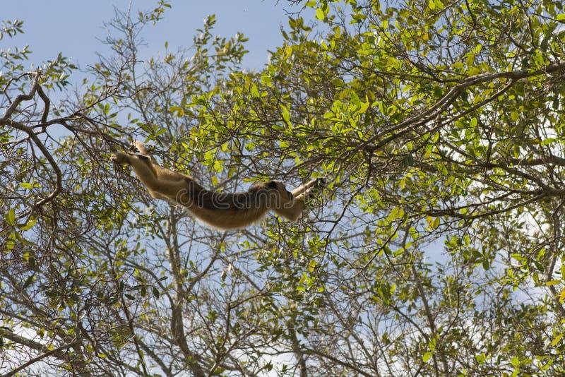 Swinging Howler monkey in pantanal, Brazil stock photography
