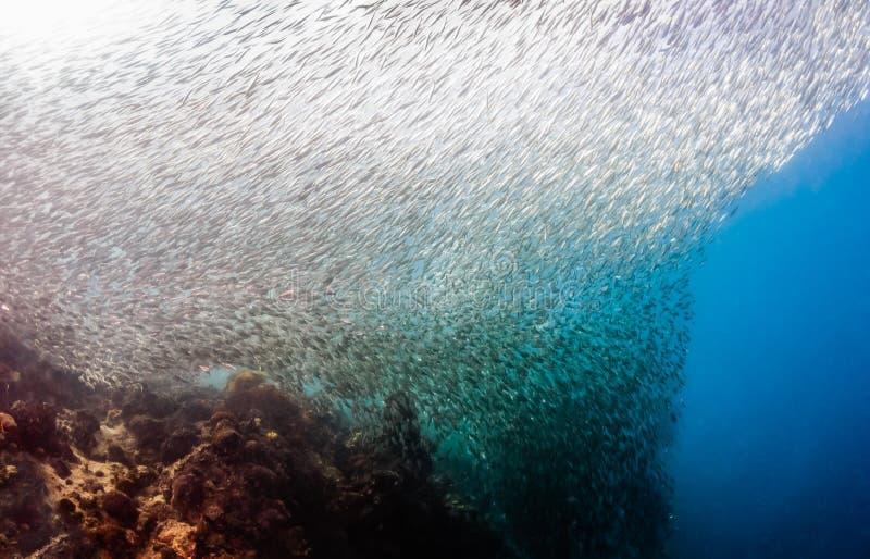 Swirling Sardine baitball stock images