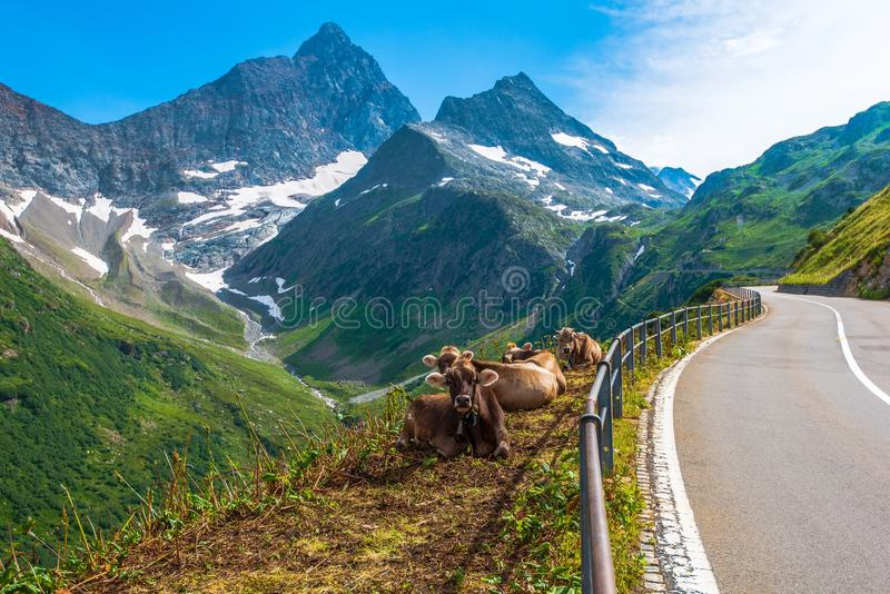 Swiss Alpine Milk Cows royalty free stock photography