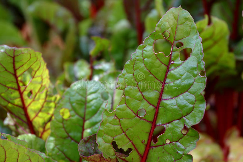 Download Swiss Chard Plant Leaves Partly Eaten By Pests Stock Image - Image of leaves, edible: 14913003
