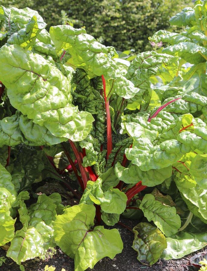 Swiss chard in vegetable garden.  stock photos