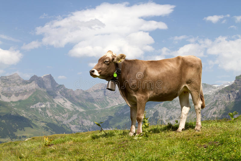 Swiss cow. In the alps royalty free stock photo
