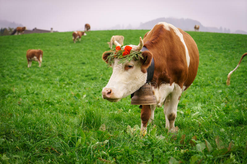 Swiss cow. In Gruyeres, Fribourg, zone on the Swiss alps, Switzerland. Photo taken on: Octember 11th, 2015 stock photography
