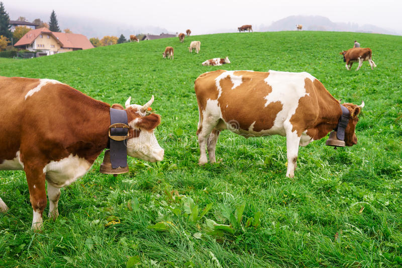 Swiss cow. In Gruyeres, Fribourg, zone on the Swiss alps, Switzerland. Photo taken on: Octember 11th, 2015 stock image