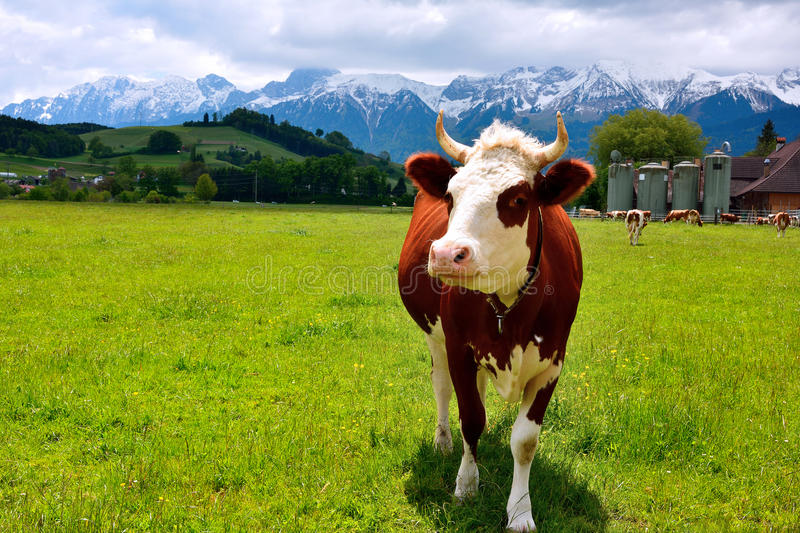 Swiss Cow on a summer pasture. Swiss happy Cow on a summer pasture with the background of swiss mountain cover with snow royalty free stock photo