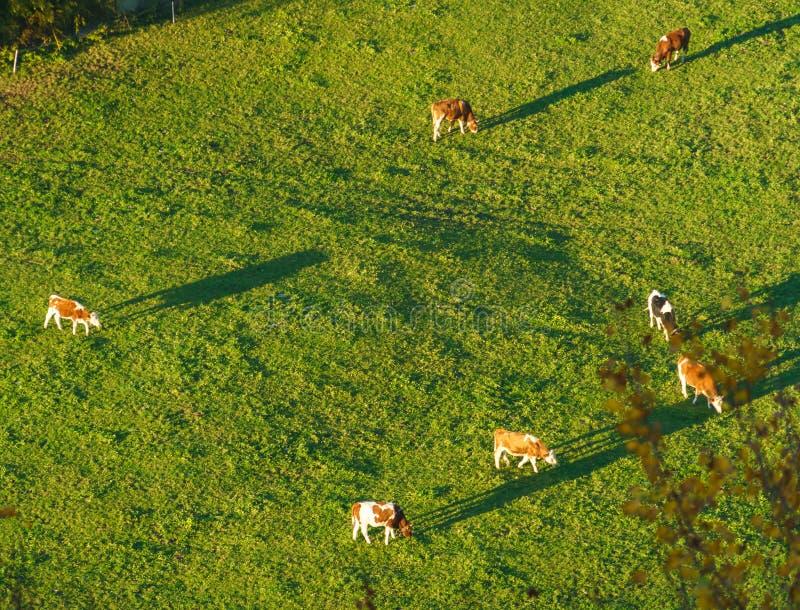 Swiss cows graze on meadow aerial view, Gruyeres, Switzerland stock photos