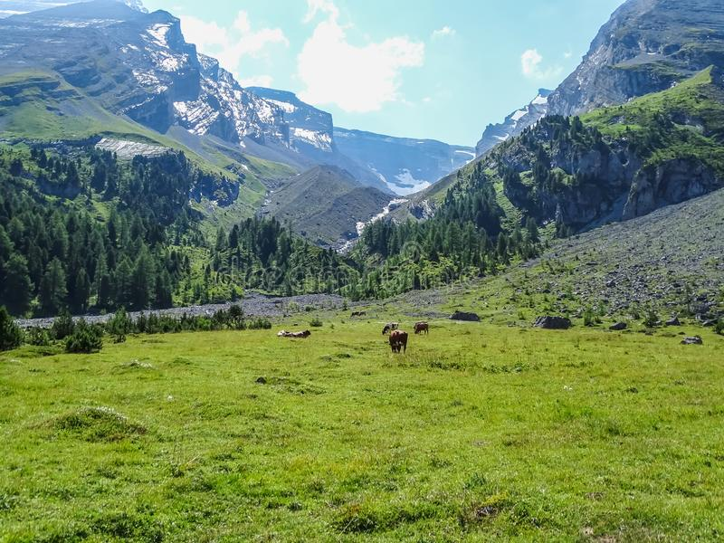 Swiss cows on high mountain route through the Gemmi Pass in Switzerland stock images